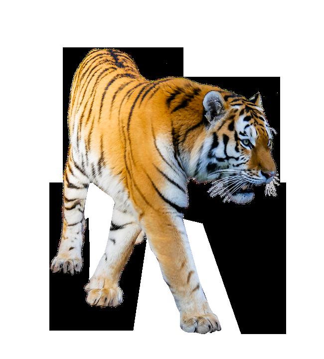 Tiger prowling transparent background image PNG format no background.