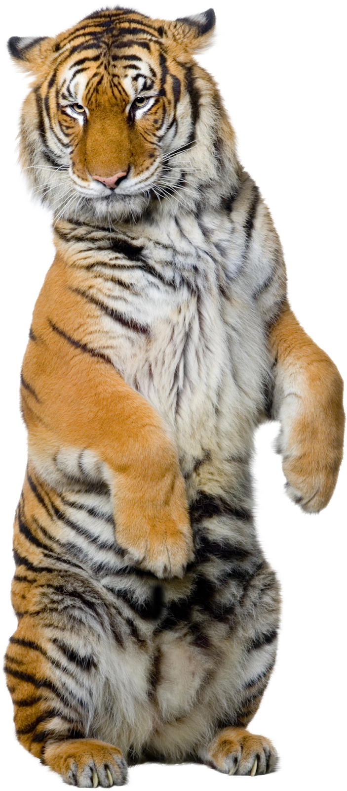 PNG Sector: Angry Tiger PNG.