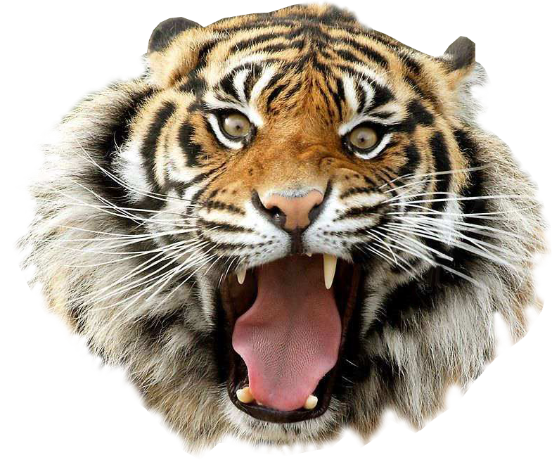 Angry tiger transparent background.