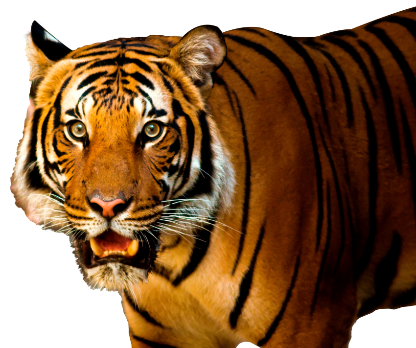 Free Png Tiger PNG Images Transparent #4551.