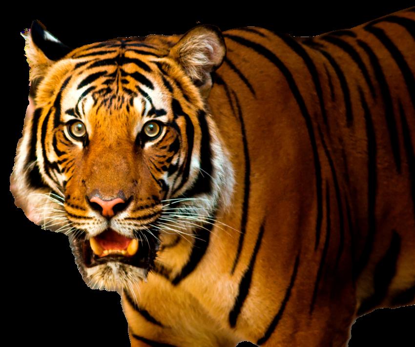 Free Png Tiger PNG Images Transparent #4551.