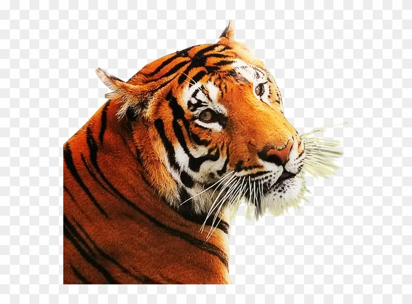 Angry Tiger Clipart 34571 Free Png Images No Background.