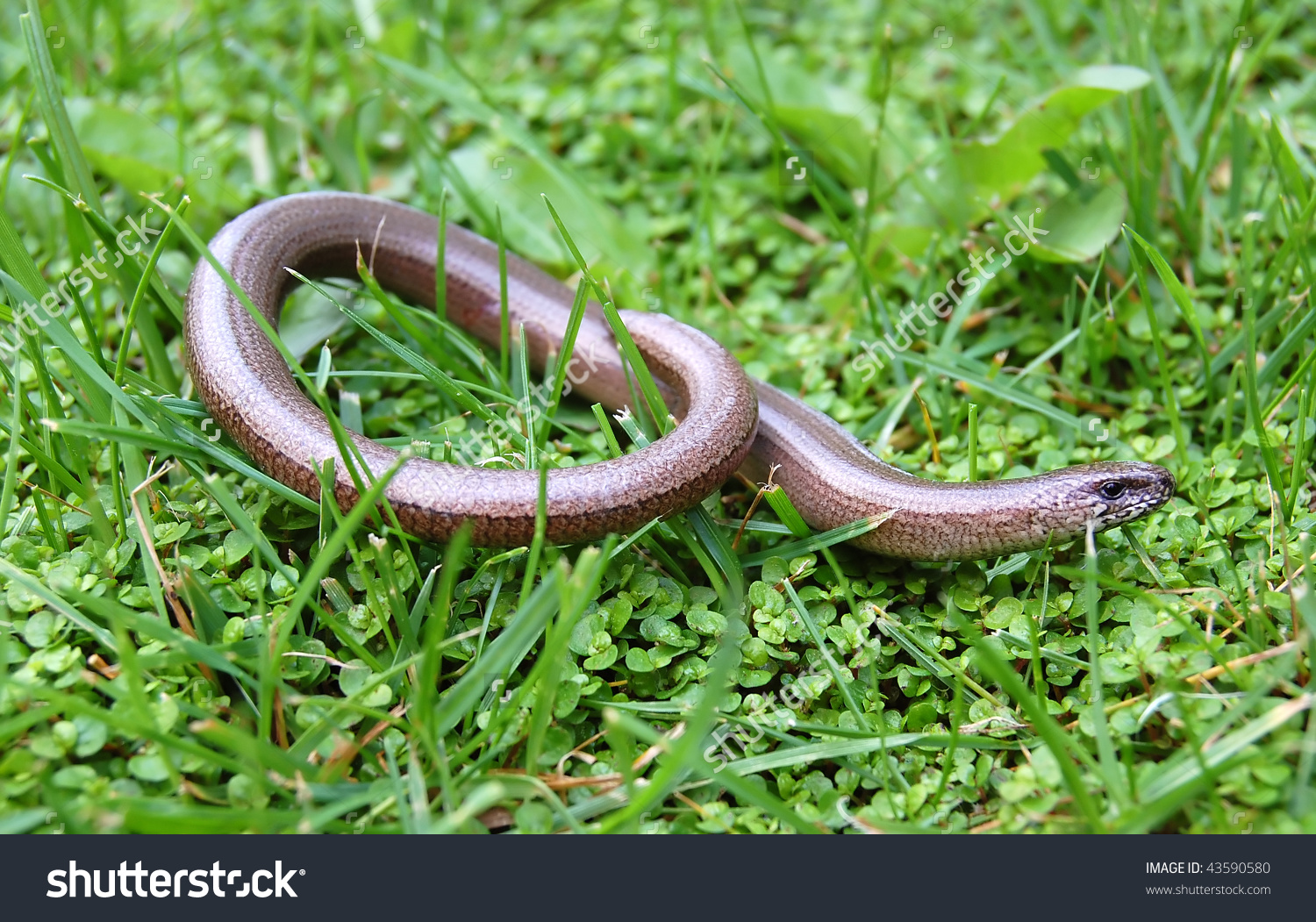 Juvenile Anguis Fragilis Known Slow Worm Stock Photo 43590580.