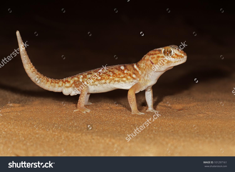 Giant Ground Gecko Chondrodactylus Angulifer On Stock Photo.