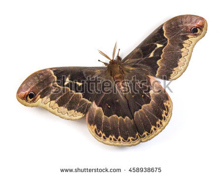 Silkmoth Stock Images, Royalty.
