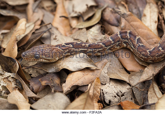 Earth Boa Snake Stock Photos & Earth Boa Snake Stock Images.