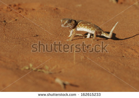 Chondrodactylus Stock Photos, Images, & Pictures.