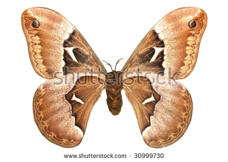 "silk_moths"" Stock Photos, Royalty."