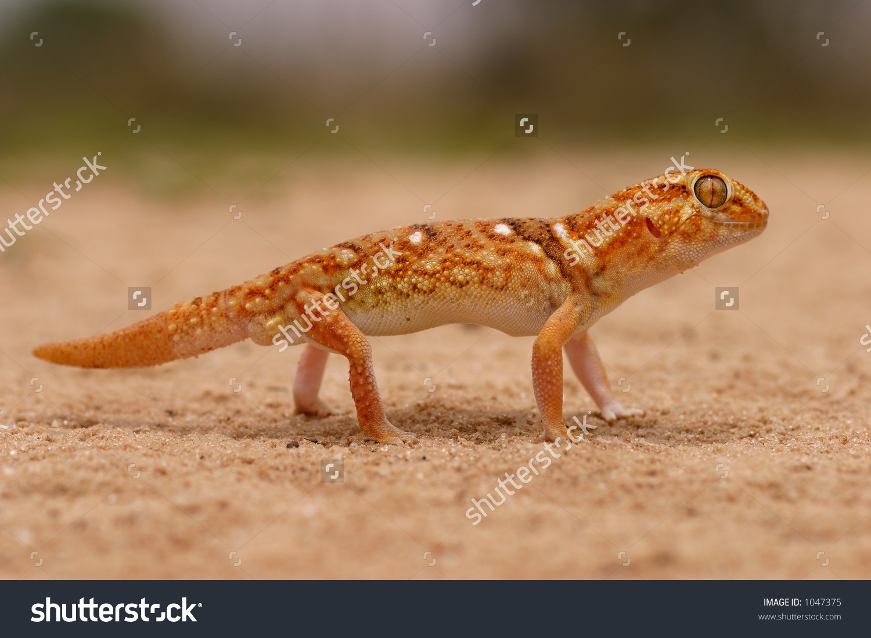 Giant Ground Gecko Chondrodactylus Angulifer Desert Stock Photo.