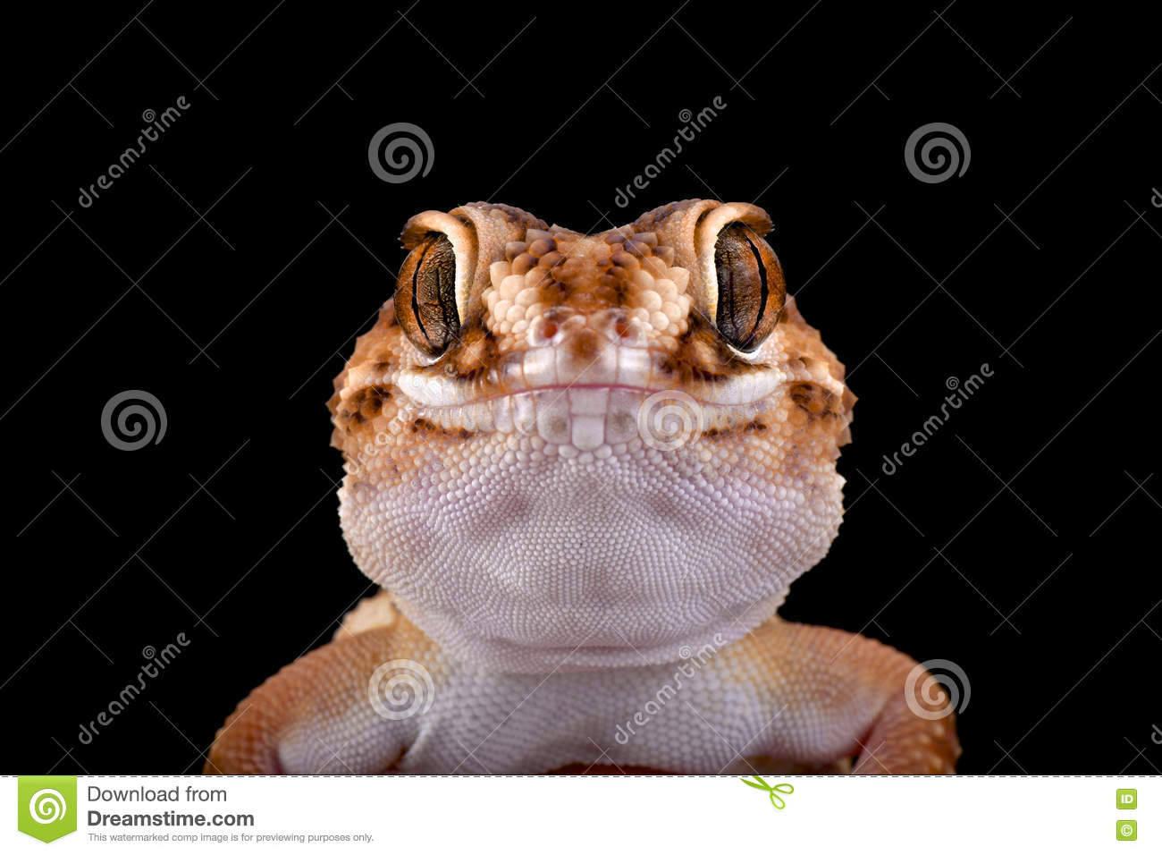 South African Ground Gecko (Chondrodactylus Angulifer ) Stock.