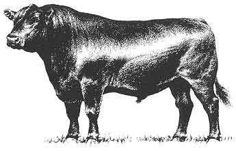 angus bull.