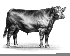 Black Angus Cattle Clipart.