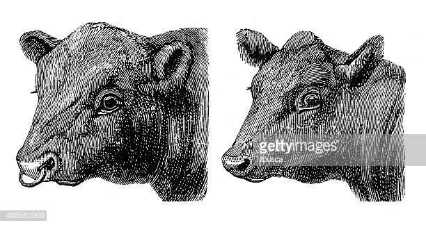 24 Aberdeen Angus Cattle Stock Illustrations, Clip art, Cartoons.