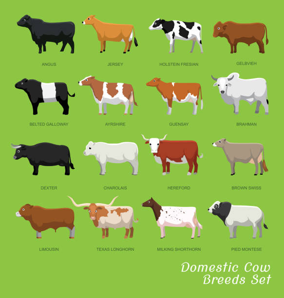 Best Angus Cattle Illustrations, Royalty.