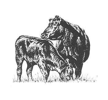 Angus bull clip art