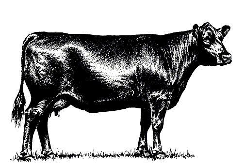 Angus cow.