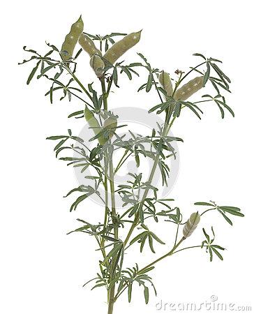 Lupinus Angustifolius Stock Photo.