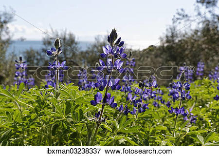 """Picture of """"Blue Lupine or Narrow."""