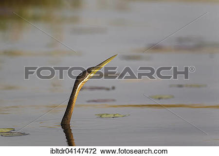 Stock Photo of African Darter (Anhinga rufa), swimming in the.