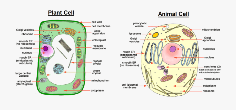 Animal Cell Cell Wall , Transparent Cartoon, Free Cliparts.