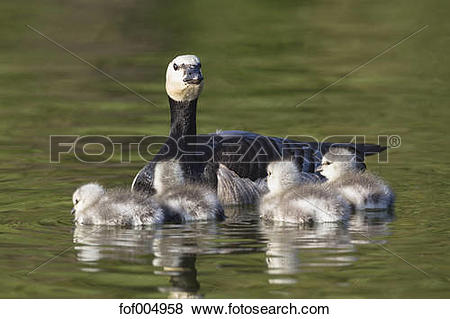 Pictures of Germany, Bavaria, Barnacle goose with chicks swimming.