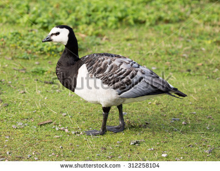 Barnacle Goose Stock Photos, Royalty.