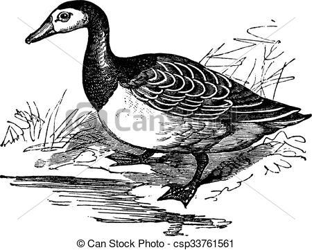 Clip Art Vector of Barnacle goose (Branta leucopsis), vintage.