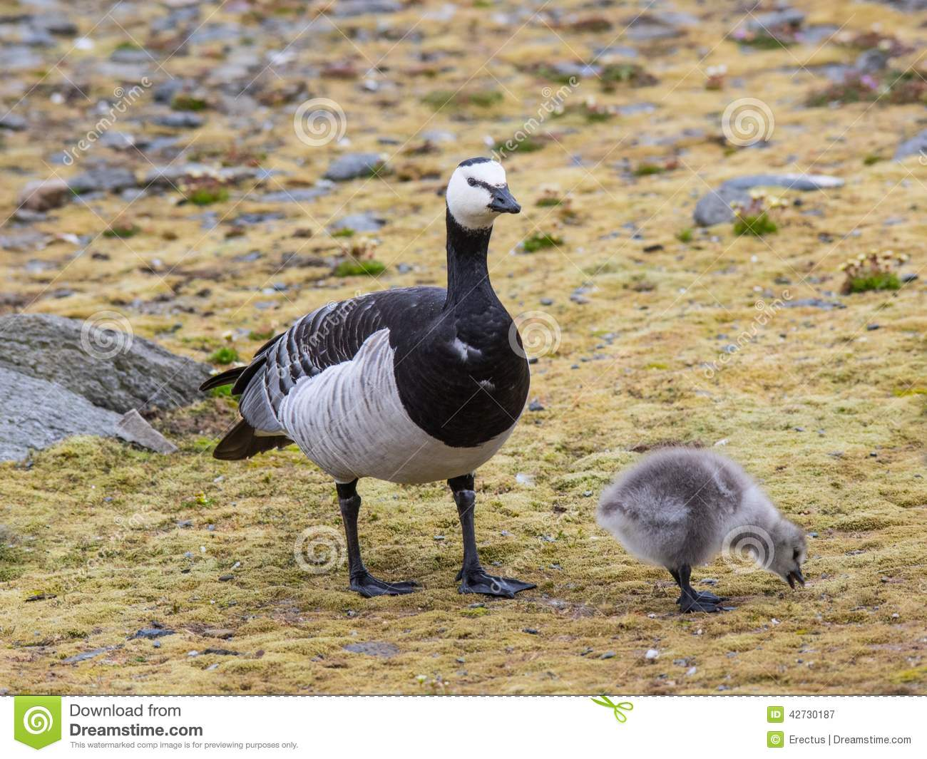 Barnacle Goose With Chicks.