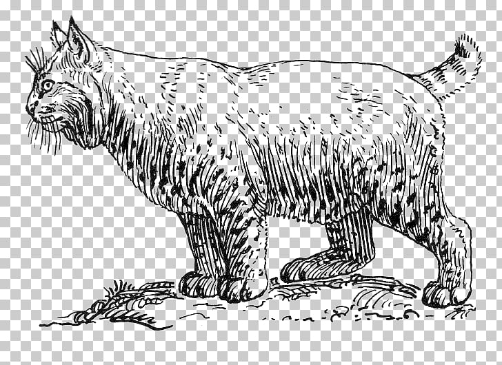 Bobcat Cougar Wildcat Coloring book , wild PNG clipart.