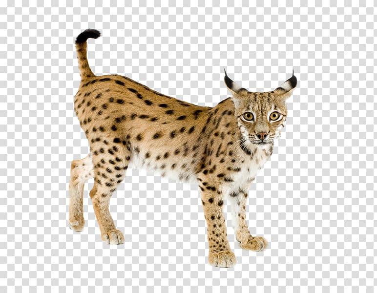 Eurasian lynx Bobcat Iberian lynx Felidae Canada lynx, Lynx.