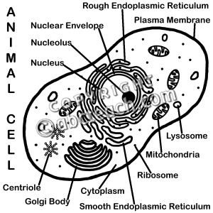 Animal cell clipart black and white.