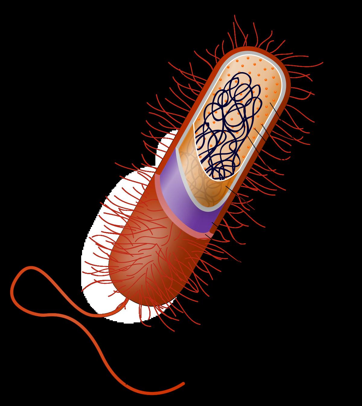 Prokaryote.