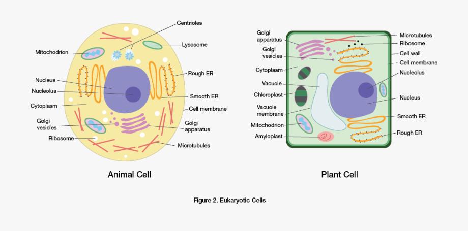Eukaryotic Cells.