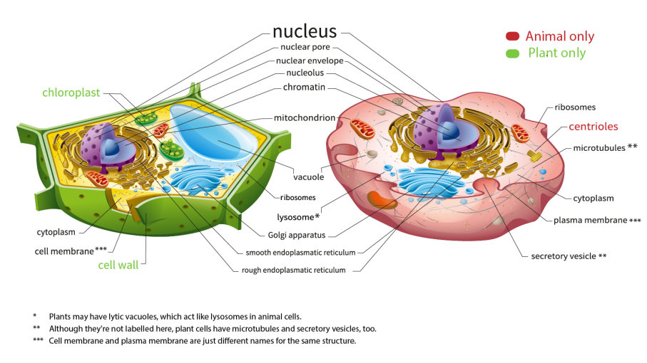 Here\'s How Plant and Animal Cells Are Different.