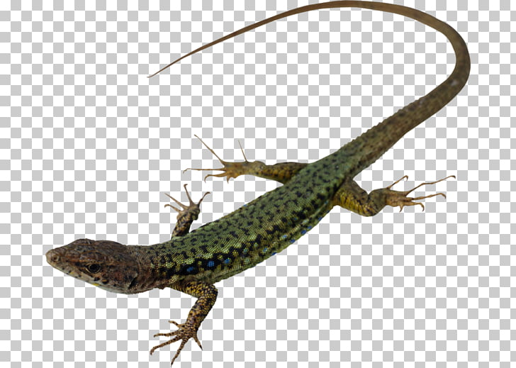 Lagarto reptil serpiente gecko animal, lagarto PNG Clipart.
