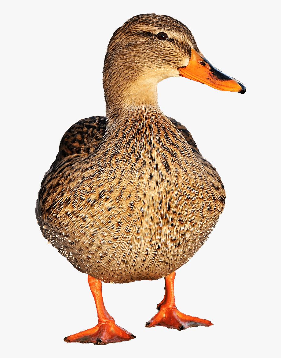 Ducks Clipart Duck Walk.