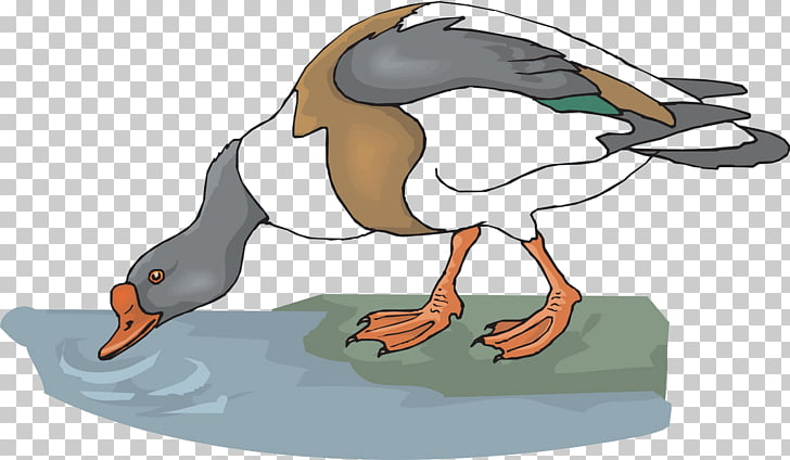Goose Drinking water Animal , Drink goose PNG clipart.