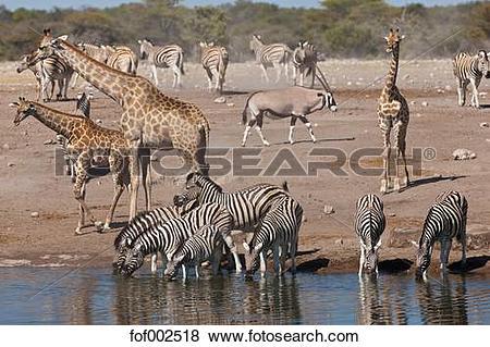 Pictures of Africa, Namibia, Safari animals at waterhole in etosha.