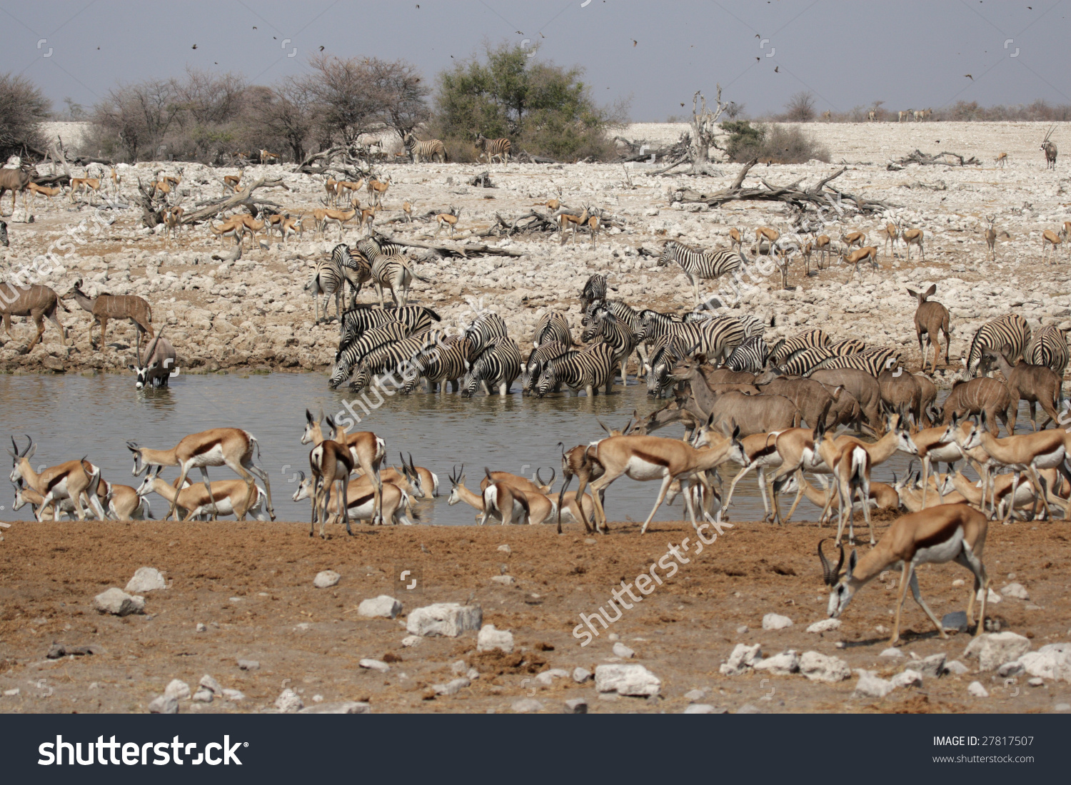 Animals Drinking Waterhole Okaukuejo Etosha National Stock Photo.