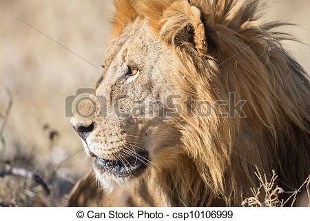 Stock Photographs of Male Lion in Etosha National Park, Namibia.
