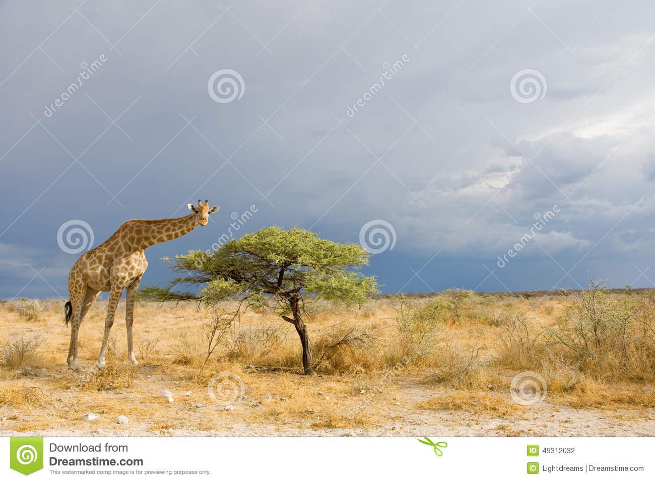 Giraffe In Etosha Stock Photo.
