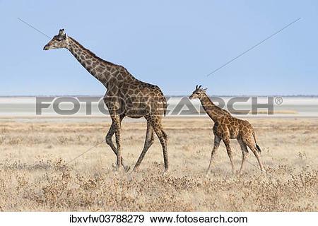 """Stock Photograph of """"Giraffe (Giraffa camelopardis) with a calf."""