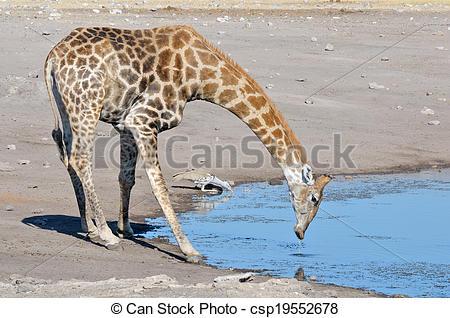 Picture of Giraffe and Kori Bustard drinking water, Etosha.