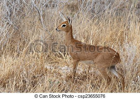 Picture of Steenbok, Etosha National Park, Namibia.