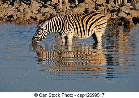 Clipart of Zebra drinking water, Okaukeujo waterhole, Etosha.