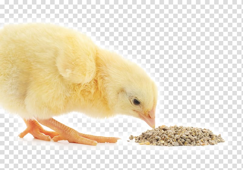 Broiler Chicken Animal Feed Additives Poultry feed, chicken.