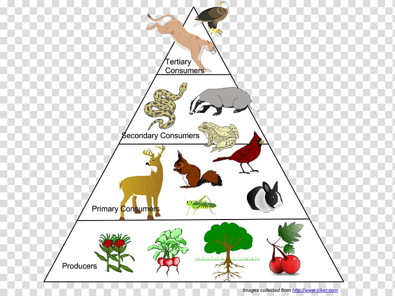 Food web Ecological pyramid Food chain Ecosystem Ecology.