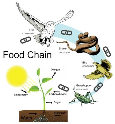 Food chain.
