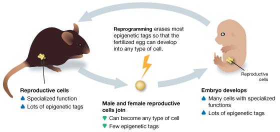 Epigenetics & Inheritance.