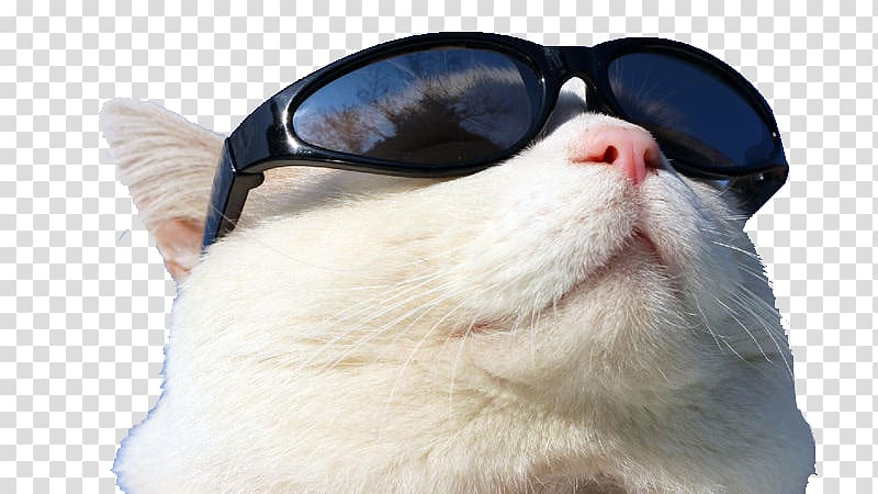 White tabby cat wearing shades while staring up, Sunscreen.